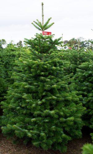 Cut Trees Premium Christmas Trees
