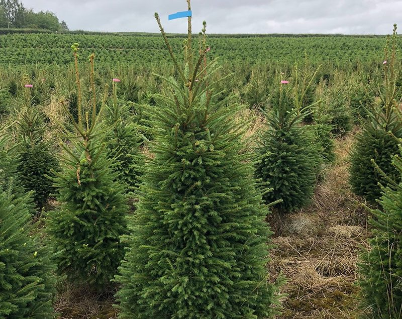 norway-spruce-img-new